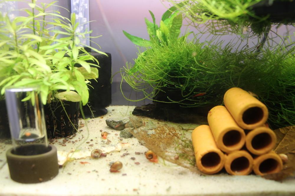 Cherry shrimp LJPG.jpg