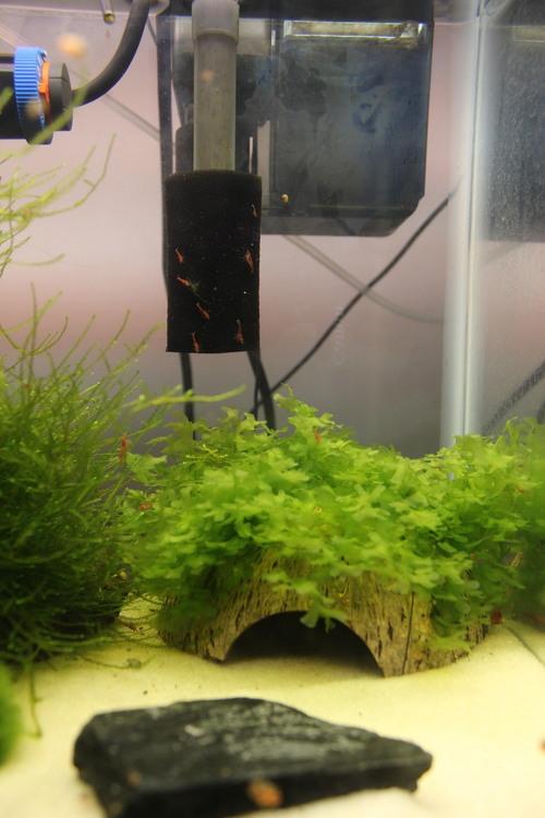 Cherry shrimp RJPG.jpg