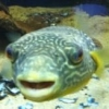 German Puffer Fish? - last post by Psylant