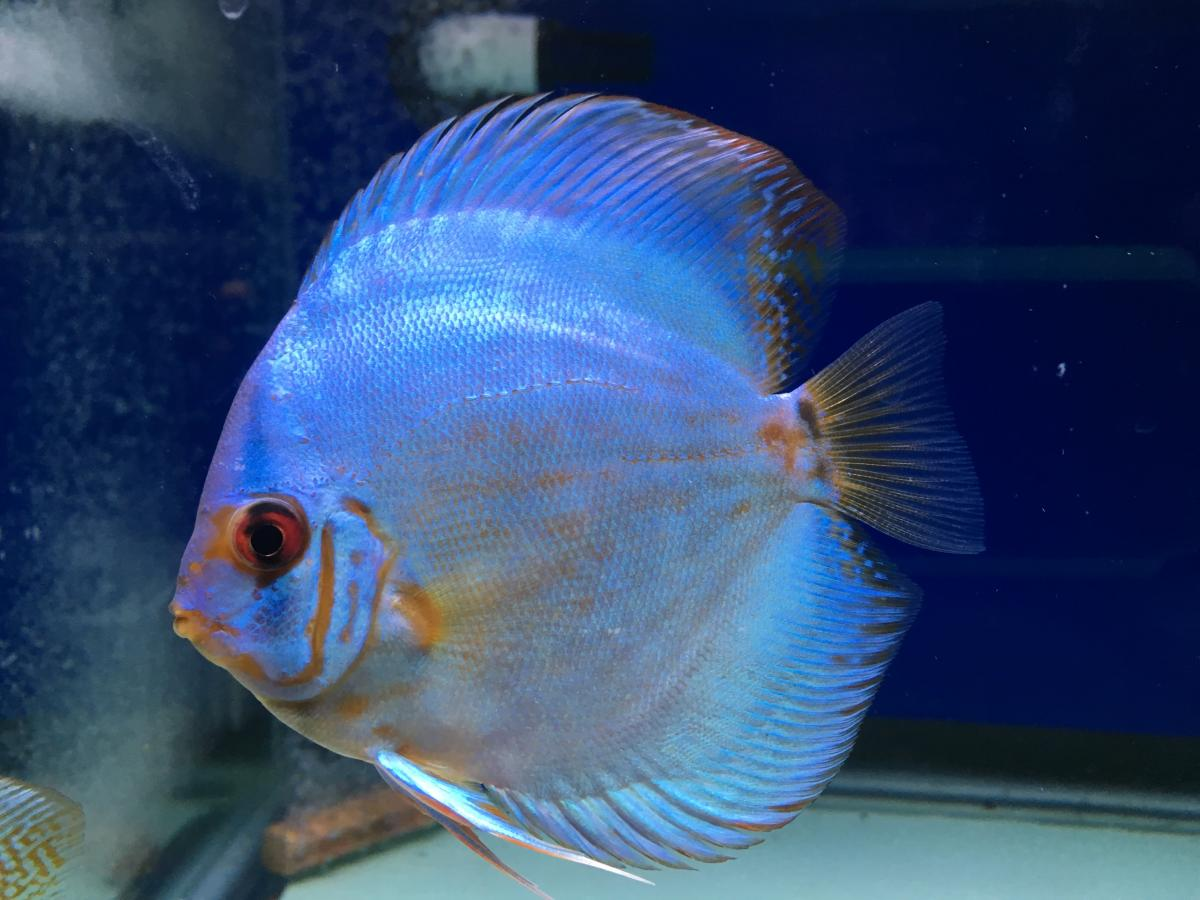 2016 discus fish for sale albertaaquatica for Live discus fish for sale