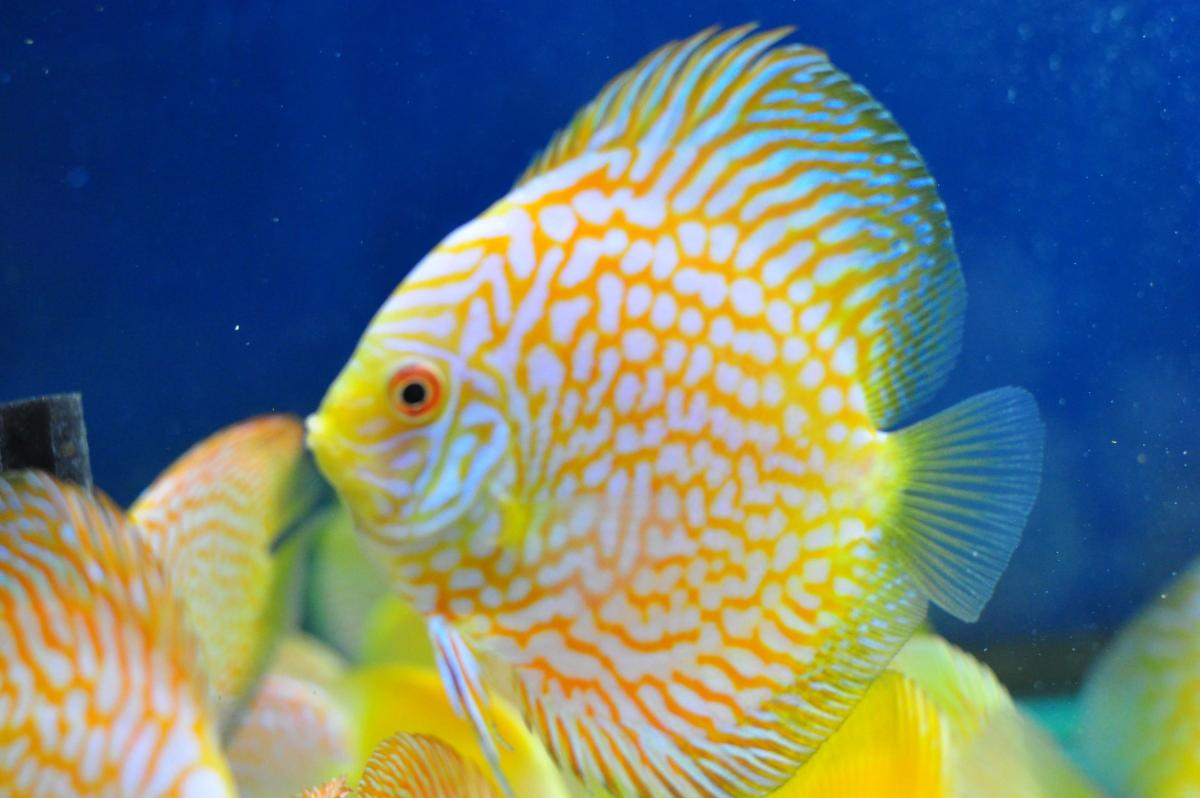 Beautiful Selection Of Discus Fish Now Available - AlbertaDiscus.ca ...